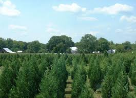 Wadsworth Ohio Christmas Tree Farm by Old Baker Farm 35078 Harpersville 184 Furrow Lane