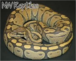 Ball Python Shedding Signs by 100 Ball Python Shedding Care Complete Pastel Orange Belly
