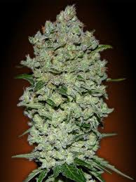 100 Col 1 Automatic Advanced Seeds