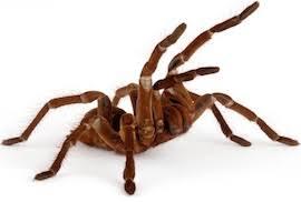 Do Tarantulas Molt Upside Down by Pet Tarantula Care