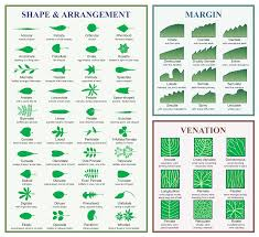 Types Of Christmas Tree Leaves by Dendrology Wikipedia