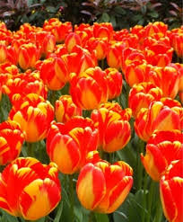 tulip horticultural tips