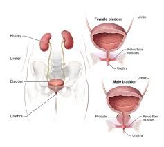 Muscles Of The Pelvic Floor Male by Urinary System An Illustration Of The Male And Female Huma U2026 Flickr