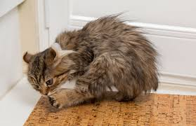 signs of worms in cats all about spots on cats petcha