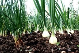 growing onions gardening australia guide