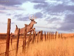 Whitetail Deer Wallpaper 27
