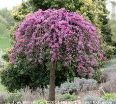 Kenss List Lavender Twist Weeping Redbud Cercis Canadensis