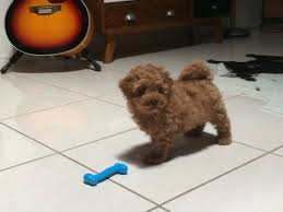 Do Miniature Aussiedoodle Shed by Jett Poodle Toy Poodle Puppy Pup Dog Small Miniature Cute Pet