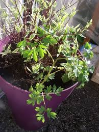coeur de en pot coeur de page 2 balcon terrasse petit jardin en pot sur