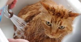 how to bathe a cat why certain cats need regular baths