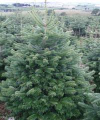 Fraser Christmas Trees Uk by About Our Trees Scottish Christmas Trees