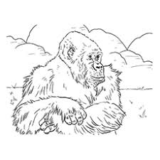 Coloring Sheet Of Mountain Gorilla