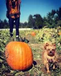 Seattle Pumpkin Patch by Die Besten 25 Pumpkin Patch Seattle Ideen Auf Pinterest