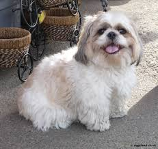 Cute Little Shih Tzu Dog In Lawn