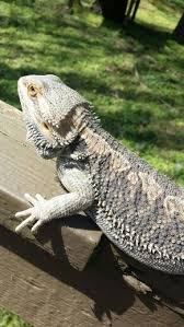 Bearded Dragon Heat Lamp Went Out by 347 Best All About The Love For Bearded Dragons Images On