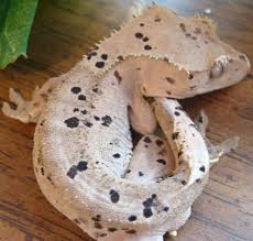 Crested Gecko Shedding Signs by A Moonglow Super Dalmatian Archive The Pangea Forums