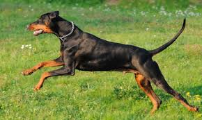 28 do miniature doberman pinschers shed dogs we luv october