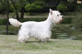 Small White Non Shedding Dog Breeds by West Highland Terrier Dog Breed Information Buying Advice Photos