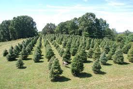 Canaan Fir Christmas Tree Needle Retention by Dsc 0537 2 Jpg
