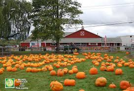 Pumpkin Picking In Ct by Bethel U0027s Blue Jay Orchards Was Bustling With Activity This Weekend
