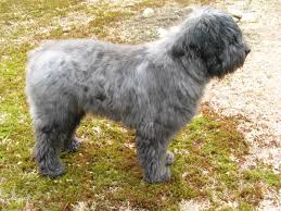 Non Shedding Large Dogs by How To Tick Check Your Dog Even If He U0027s Big Black And Hairy