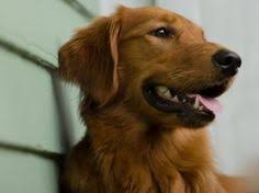 Chesapeake Bay Retriever Vs Lab Shedding by Golden Retriever Vs Labrador Retriever Dog Breeds Comparison