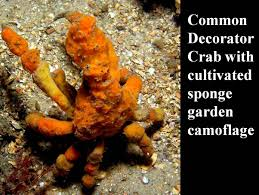 Decorator Crabs And Sea Sponges by Sponge Lecture 1 Youtube