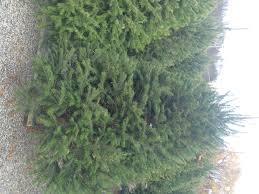 Christmas Trees Types by Dambly U0027s Selection Of Christmas Trees Dambly U0027s Garden Center