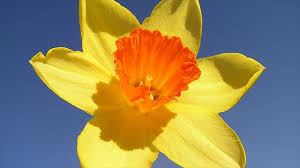 how to grow daffodils common mistakes to avoid guidelines