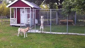 Siberian Husky Escapes - YouTube 100 Dog Escapes Backyard Run Ideas How To Build A To Guide Install Homer The Beagle Capes Home Heads Kids School Determined Cannot Be Fenced Im Not Stalking You Wearing Gopro Camera Jukin Media Annie The Heat Youtube Escape Artist Climbs Fence Creative Country Scenes Coloring Book For Adults Adult Qa More Help Dogfriendly Gardens Sunset Funny Puppy Kennel