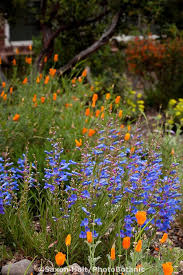 61 best San Diego Native Plants images on Pinterest