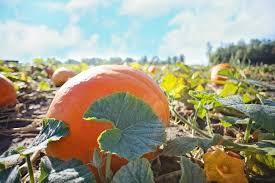 Denver Area Pumpkin Patches by The Best Pumpkin Patches Around Denver U2013 Coloradomoms Com