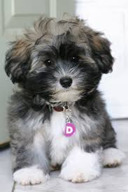 Top 10 Dogs That Dont Shed by 83 Best Pups Images On Pinterest Pets Adoption And Chihuahuas