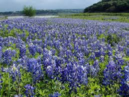 Pumpkin Patch Near Austin Tx by Austin U0027s Best Spots To See Bluebonnets And Other Wildflowers