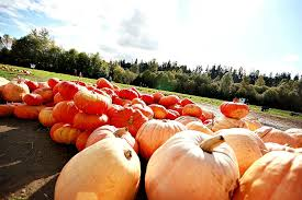 Pumpkin Patch Puyallup River Road by Pumpkin Patch U2014 Mosby Farms