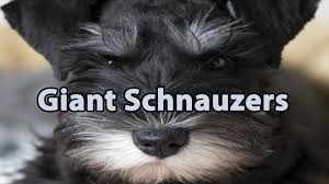 Do Giant Schnauzer Dogs Shed Hair by The Right Companion Giant Schnauzer Youtube