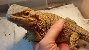 Bearded Dragon Shedding A Lot by Bearded Dragon Care U0026 Handling Pogopogona