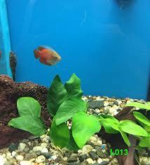 anubias barteri broad leaf plant l013 live aquatic plant buy