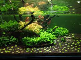 Pennywort Brazilian Aquatic Plant - Google Search | AQUASCAPING ... Layout 22 George Farmer Tropica Aquarium Plants Aquacarium Aquascaping Live Bulk Fish Food Lifelike Hugo Kamishi Trimming Aquatic Stem Good Time For New Youtube Lab Tutorial River Bottom Natural Aquarium Plants With Pearlweedhow To Start A Carpet Of Pearlweed How To Create Your First Aquascape Love Rotala Sp Njenshan Pinterest Ideas From The Art The Planted Basics Substrate Stainless Steel Kit Tank