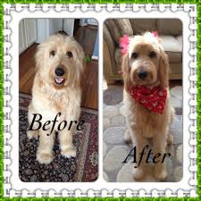 Do F1 Sheepadoodles Shed by Goldendoodle Haircuts Multigen Petite Mini Medium Goldendoodles
