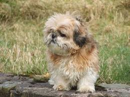 Non Shedding Hypoallergenic Dogs by Medium Sized Hypoallergenic Dogs Top 10 A Dog Like You