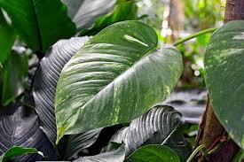 efeutute pflanzen pflegen vermehren schöner wohnen