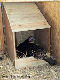 Turkeys: Breeding, Hatching And Brooding | Community Chickens Raising Turkeys Morning Routine Youtube 117 Best Helpful Tips And Tricks For Livestock Pets Images On What Do Wild Turkeys Eat Feeding Birds Your Homestead Homesteads Turkey 171 Ducks Geese Guineas Farm Tales A Holiday Feast In Our Own Backyard Free 132 Pinterest Backyard Chickens 1528 Chickens Coops Chicken How To Raise Hgtv Bring Up Other Fowl