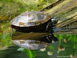 Turtle Shell Not Shedding by Painted Turtles Living With Wildlife A Life In The Wild