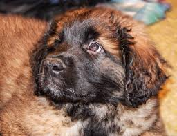 Dogs That Shed The Least by The Leonberger A Large And Friendly Pet Dog Breed Pethelpful