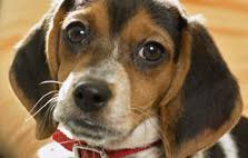 Best House Dogs That Dont Shed by Hypo Allergenic Dog Breeds Dog Breed Selector Animal Planet