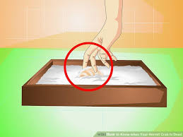 Do Hermit Crabs Shed Their Whole Body by 3 Ways To Know When Your Hermit Crab Is Dead Wikihow