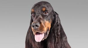 Red White Irish Setter Shedding by Gordon Setter Dog Breed Information American Kennel Club
