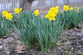 bulb growing basics a springtime recap a way to garden
