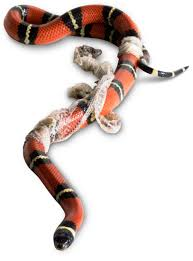 Corn Snake Shedding Signs by Snake Shedding Skin How Snakes Shed Skin Dk Find Out